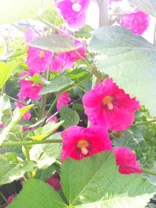 立葵(たちあおい)の花